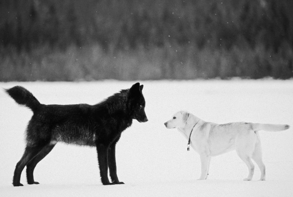 Homage to Romeo, the Wolf who came to Juneau